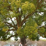熊本 ドレスオプション-熊本城の大きな木下で
